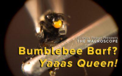 Bumblebee Barf: How it Creates Queens