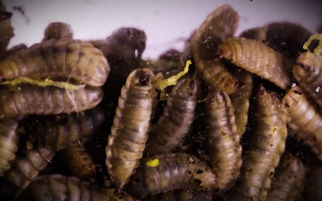 The Very Hungry Maggot: Can Maggots Devour All Our Food Waste?