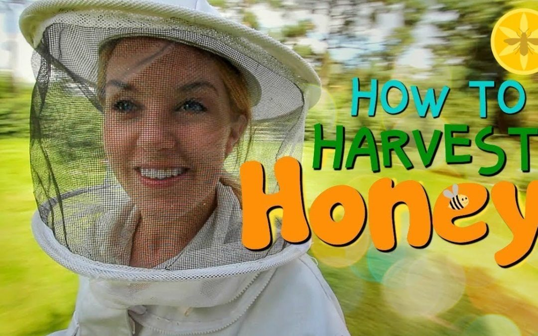 How beekeepers harvest honey