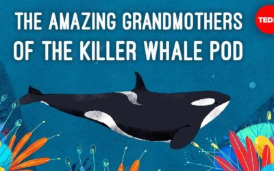 Killer Whale Grandmas Are Rad