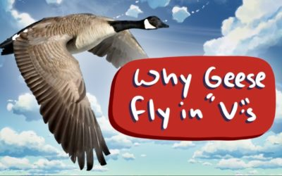 "Why do geese fly in a ""V"" formation?"
